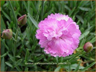 Dianthus gratianopolitanus 'Pink Jewel' | Anjer