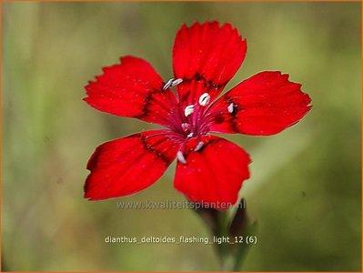 Dianthus deltoides 'Flashing Light'   Steenanjer, Anjer