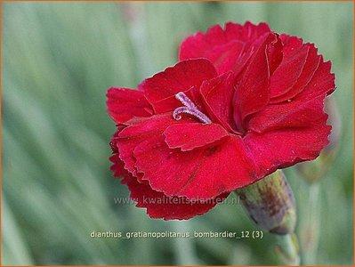 Dianthus gratianopolitanus 'Bombardier'   Anjer