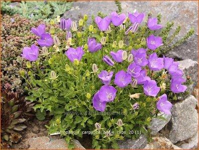 Campanula carpatica 'Blaue Clips' | Karpatenklokje, Klokjesbloem
