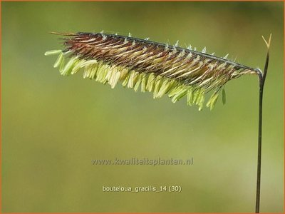 Bouteloua gracilis | Muskietengras