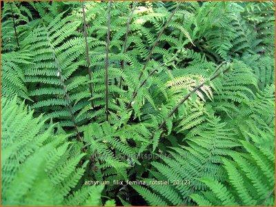 Athyrium filix-femina 'Rotstiel' | Wijfjesvaren