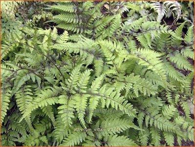 Athyrium vidalii   Wijfjesvaren