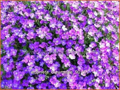 Aubrieta 'Blaumeise' | Rijstebrij, Randjesbloem, Blauwkussen