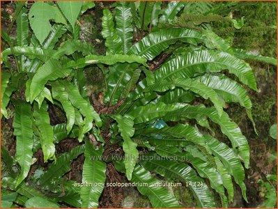 Asplenium scolopendrium 'Undulatum' | Tongvaren
