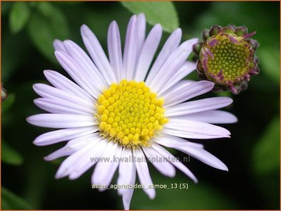 Aster ageratoides 'Asmoe' | Aster
