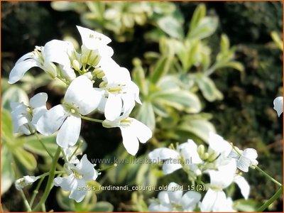 Arabis ferdinandi-coburgii 'Old Gold' | Randjesbloem