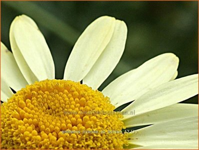 Anthemis hybrida 'E.C. Buxton'   Kamille, Roomse kamille