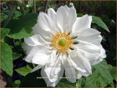 Anemone hybrida 'Whirlwind' | Anemoon, Herfstanemoon, Japanse anemoon