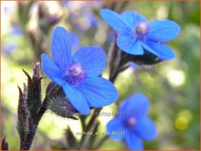 Anchusa azurea   Blauwe ossentong, Italiaanse ossentong