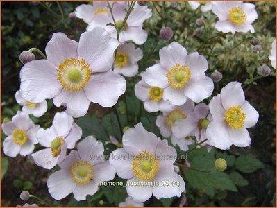Anemone hupehensis   Anemoon, Herfstanemoon, Japanse anemoon