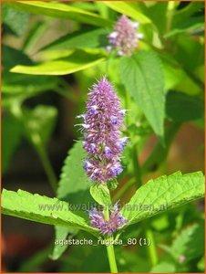 Agastache rugosa | Dropplant, Anijsnetel