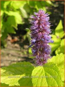 Agastache rugosa 'Golden Jubilee' | Dropplant, Anijsnetel
