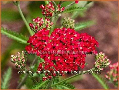 Achillea millefolium 'Red Beauty' | Duizendblad