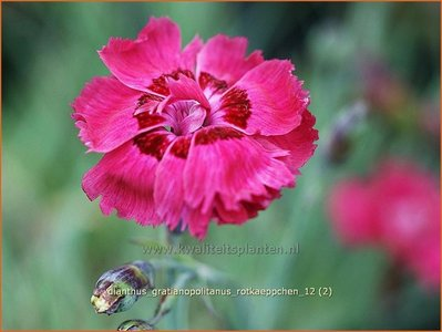 Dianthus gratianopolitanus 'Rotkaeppchen' | Anjer