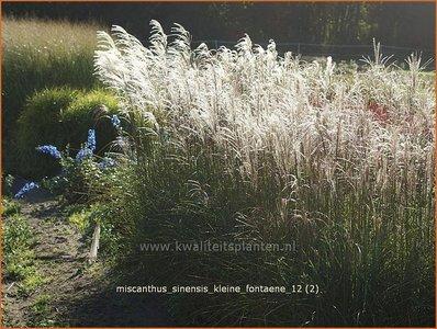 Miscanthus sinensis 'Kleine Fontaene' | Prachtriet, Japans sierriet, Chinees riet