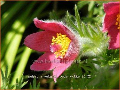 Pulsatilla vulgaris 'Roede Klokke'   Wildemanskruid