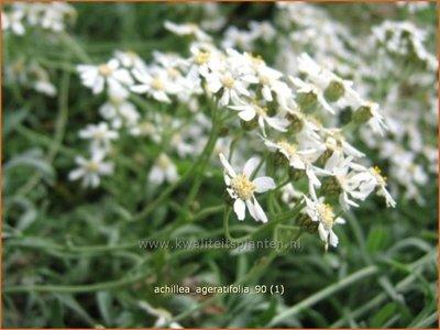 Achillea ageratifolia | Duizendblad