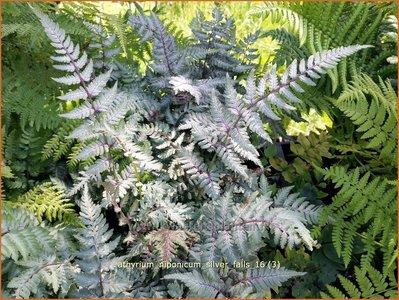 Athyrium niponicum 'Silver Falls' | Japanse regenboogvaren | Regenbogenfarn