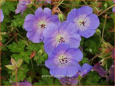 Geranium 'Rozanne' | Ooievaarsbek, Tuingeranium | Storchschnabel