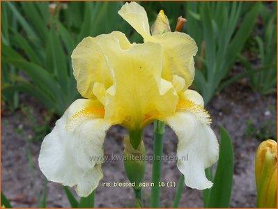 Iris germanica 'Blessed Again' | Baardiris, Iris, Lis | Hohe Bart-Schwertlilie