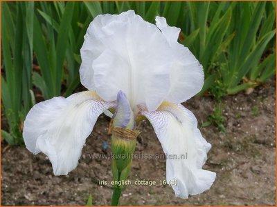 Iris germanica 'English Cottage' | Baardiris, Iris, Lis | Hohe Bart-Schwertlilie