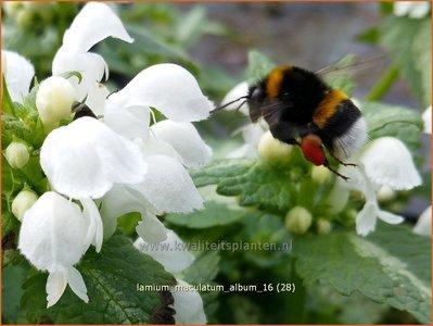 Lamium maculatum 'Album' | Gevlekte dovenetel, Dovenetel | Gefleckte Taubnessel