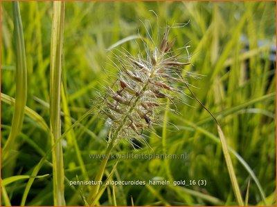 Pennisetum alopecuroides 'Hameln Gold'   Lampenpoetsersgras, Borstelveergras   Lampenputzergras