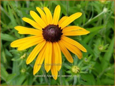 Rudbeckia fulgida var. speciosa | Zonnehoed | Prächtiger Sonnenhut