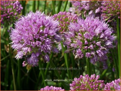Allium 'Millenium' | Sierui, Look | Lauch