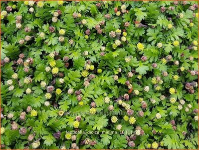 Leptinella dioica 'Minima' | Vedermos, Koperknoopje, Goudknopje | Mattgrüner Fiederteppich