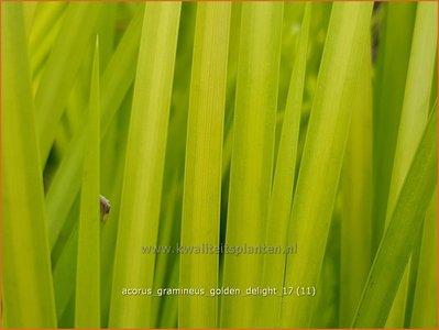 Acorus gramineus 'Golden Delight' | Kalmoes | Grasartiger Kalmus