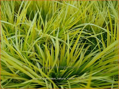 Acorus gramineus 'Hakuro-nishiki' | Kalmoes | Grasartiger Kalmus