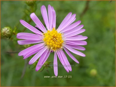 Aster 'Pink Star' | Aster | Aster