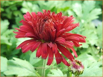 Tuinchrysant Chrysanthemum Red Velvet Chrysant Kopen