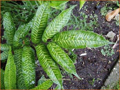Coniogramme emeiensis   Lintvaren   Bambusfarn