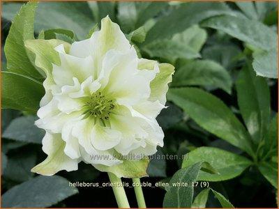 Helleborus orientalis 'Double Ellen White' | Kerstroos, Lenteroos, Vastenroos, Nieskruid | Lenzrose