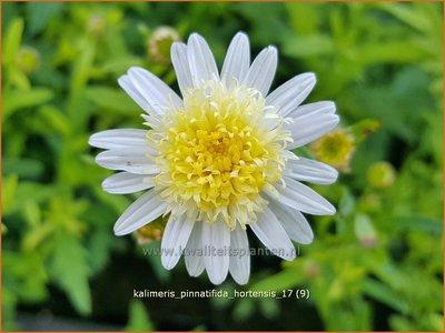 Kalimeris pinnatifida 'Hortensis' | Zomeraster | Fiederspaltige Schönaster