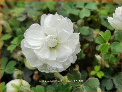Oxalis magellanica 'Nelson' | Klaverzuring | Sauerklee