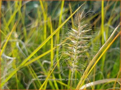 Pennisetum alopecuroides 'Jommenik' | Lampenpoetsersgras, Borstelveergras | Lampenputzergras