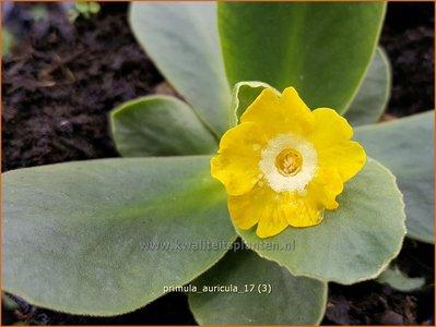 Primula auricula | Aurikel, Uilenoog, Sleutelbloem | Aurikel