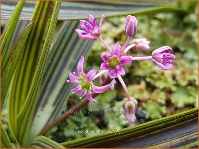 Scilla adlamii | Sterhyacint | Blaustern