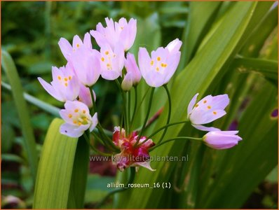 Allium roseum | Roze look, Look | Rosablühender Lauch