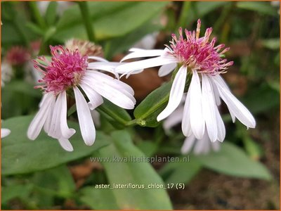 Aster lateriflorus 'Chloe' | Gladde aster, Aster | Glatte Aster