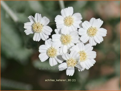 Achillea kellereri | Duizendblad | Silbergarbe