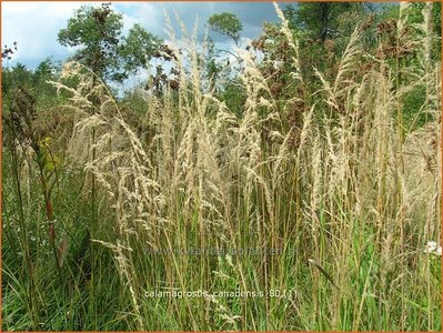 Calamagrostis canadensis | Struisriet | Blauknoten-Reitgras