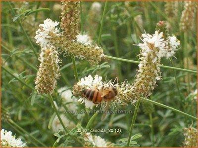 Dalea candida | Prairieklaver | Weißblühender Prärieklee