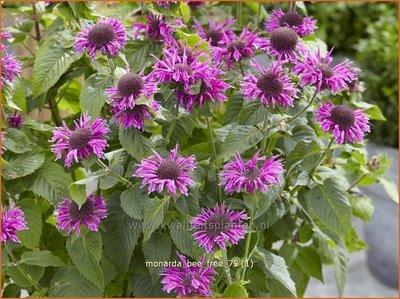 Monarda 'Bee-Free' | Bergamotplant, Indianennetel | Indianernessel