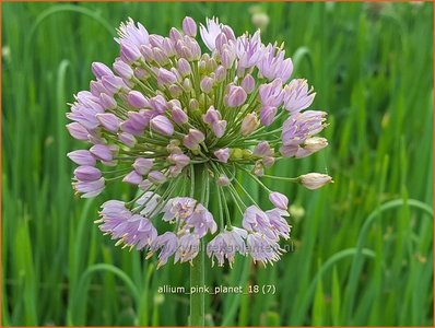 Allium 'Pink Planet' | Sierui, Look | Lauch