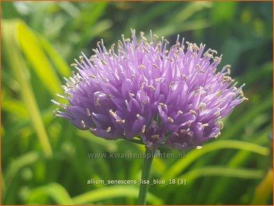 Allium senescens 'Lisa Blue' | Sierui, Look | Berg-Lauch